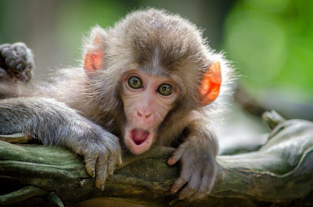 monkey face at corrupt courts